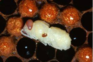 Varroa mite detected at Port of Melbourne on a ship from United States