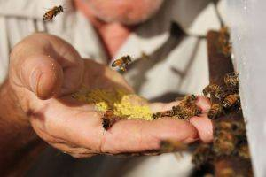 Why do some Sydney councils encourage urban beekeeping but avoid handling complaints?